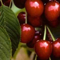 Применение косточек вишни в медицине