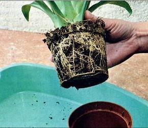 Почему нельзя пересаживать комнатные растения в слишком большой горшок?