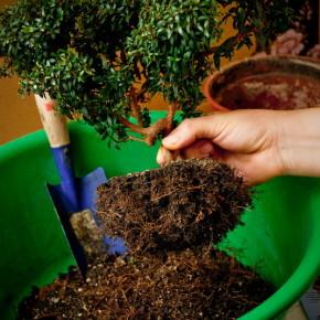 Когда нужно пересаживать комнатные растения?