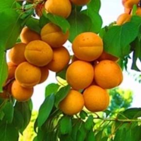 Как нормировать урожай на абрикосрвых деревьях?