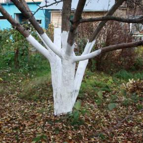 Подкормка плодовых деревьев:советы по уходу