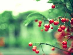Что можна лечить плодами вишни?