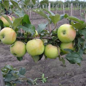 Как защитить яблони от муравьёв?