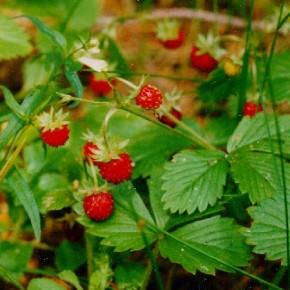 Выращивание клубники:закладываем будущий урожай