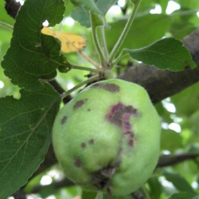 Как предотвратить распространение грибковой инфекции в саду?