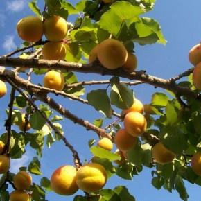 Выращивание абрикос:какие могут быть проблемы