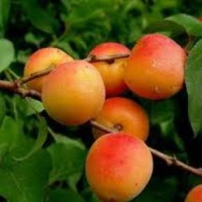 Абрикос :характеристика плодового дерева