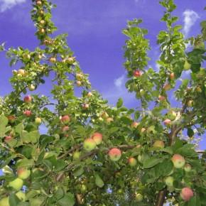 Как ухаживать за яблонями летом?