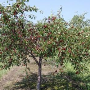 Как бороться с болезнями вишни?
