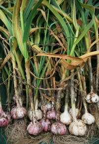 Выращивание чеснока:применение в кулинарии