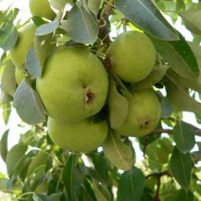 Когда нужно удобрять деревья груш?