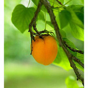 Уход за абрикосом:как бороться с болезнями
