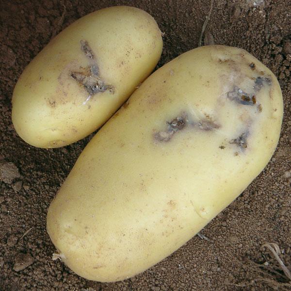 распространения картофельной моли