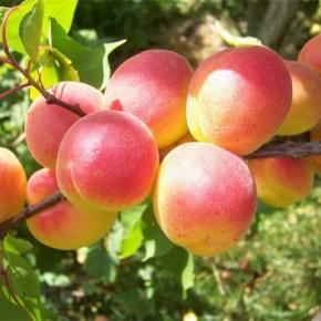 Абрикос:основная проблема при выращивании плодового дерева