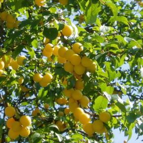 Как формировать крону абрикоса?