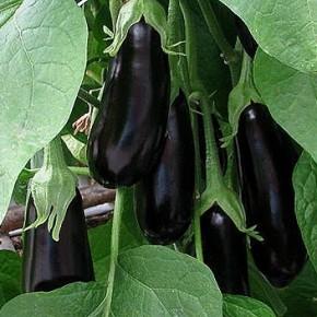Как увеличить урожай баклажан?
