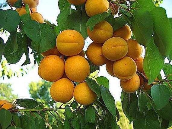 Достоинства и недостатки абрикос