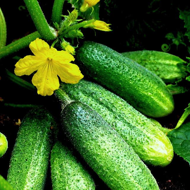 одна из самых распространенных овощных культур