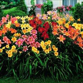 Лилии- одни из самых популярных цветов на дачных участках