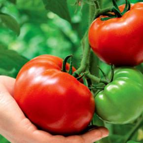 Как правильно выращивать крупноплодные томаты?