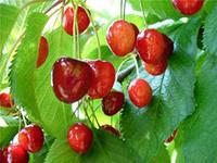 Применение вишни в народной медицине