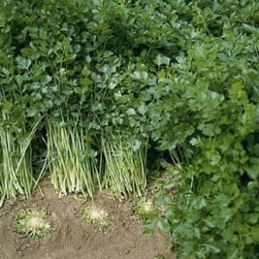 Какое удобрение можно применять для сельдерея?