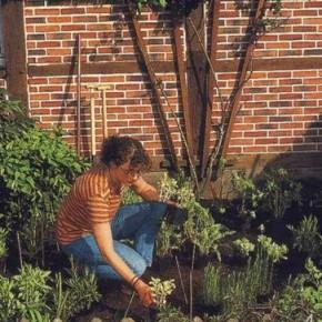 Как подращивать клубни лилий?