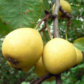 Выращивание груш на участке:как удобрять беревья?