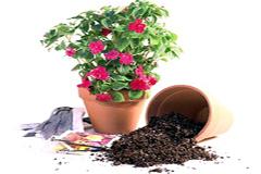 Как  правильно разместить в горшке  комнатное растение с земляным комом?