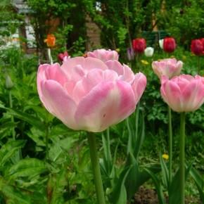Нужно ли выкапывать луковицы тюльпанов ежегодно?
