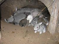 Как правильно переносить новорожденных крольчат