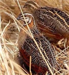 Выращивание перепелов:почему птицы клюют друг друга