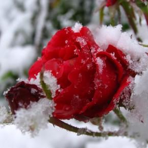Почему нельзя розы укрывать полиэтиленом?