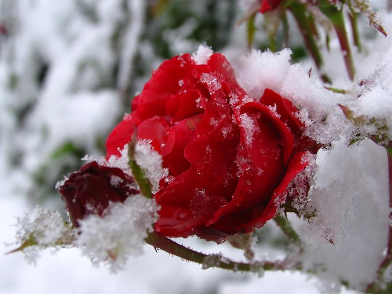 обрезать розы осенью