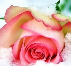 Уход и выращивание роз:черенкование растения