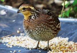 Выращивание перепелов:незаразные болезни птиц