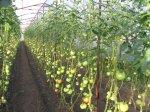 Как реагируют помидоры на нехватку фтора в земле?
