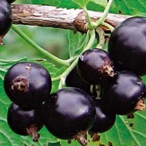 Выращивание смородины:полив и удобрение