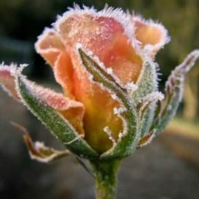 Укрываем розы на зиму:можно ли использовать полиэтилен?