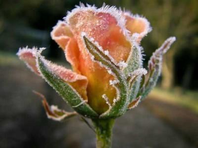 Укрываем розы на зиму
