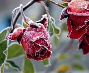 Нужно ли обрезать кусты вьющихся роз осенью?