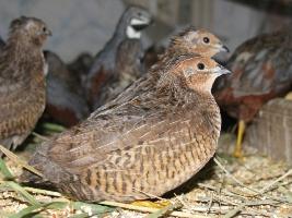 Выращивание перепелов:как лечить птиц?