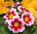 Способы размножения примул:когда и как сажать цветы