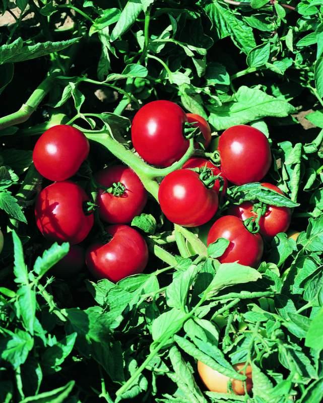 Гибрид томата для открытого грунта