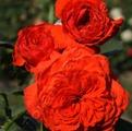 подготовить луковичные цветы к посадке
