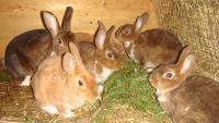 Кролики:выращивание и уход