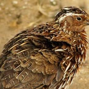 Выращивание перепелов:как отличить больных птиц от здоровых