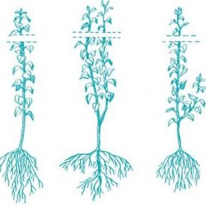 Варианты выращивание саженцев груши