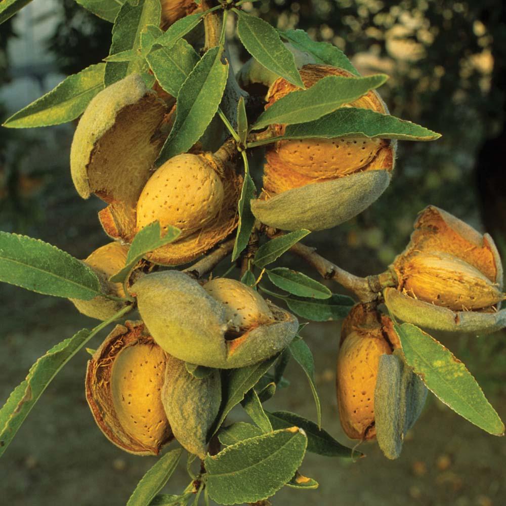 Агротехника выращивания мигдаля