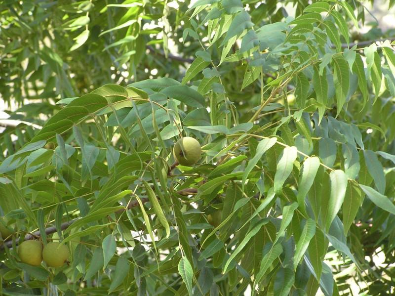 Размножение серого ореха